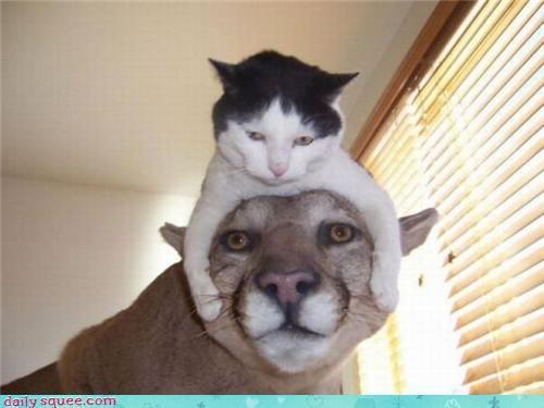 chat-cougar.jpg