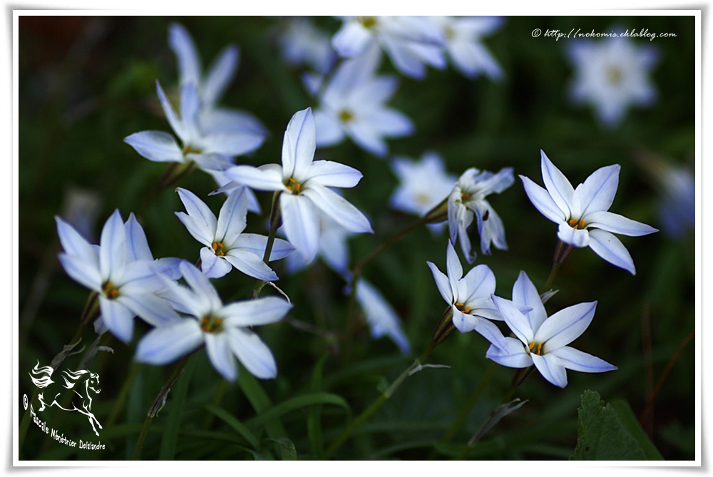 Ipheion uniflorum, Brodiaea uniflora