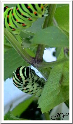 Machaon ou Grand porte-queue.