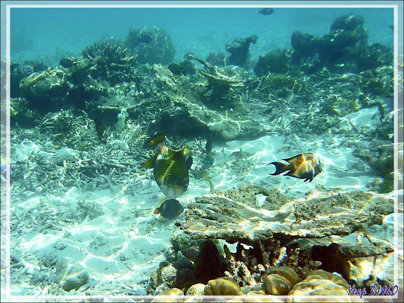 Baliste à moustache ou titan, Giant trigger-fish (Balistoides viridescens) - Moofushi - Atoll d'Ari - Maldives