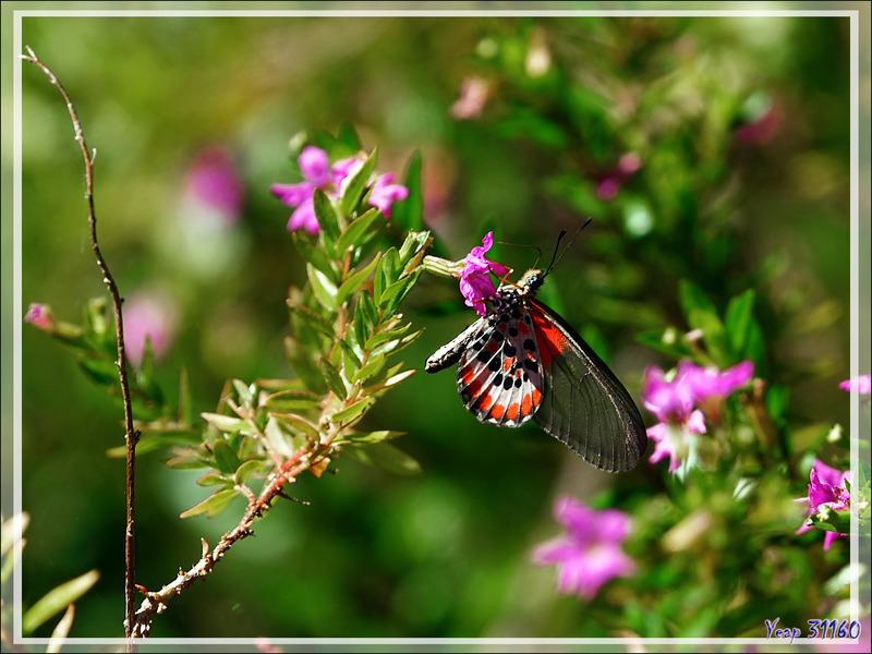 Papillon Actinote Acraea lia - Nosy Be - Madagascar
