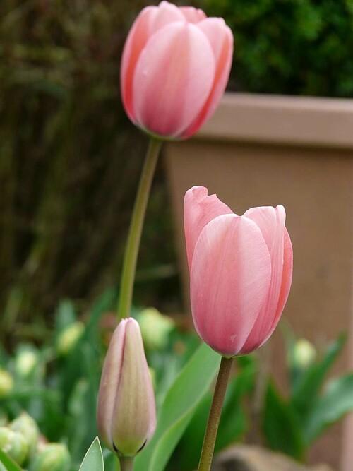 Tulipes darwin roses