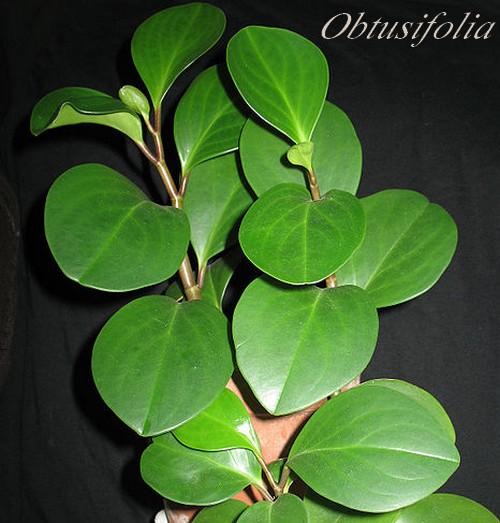 plante verte feuille ovale