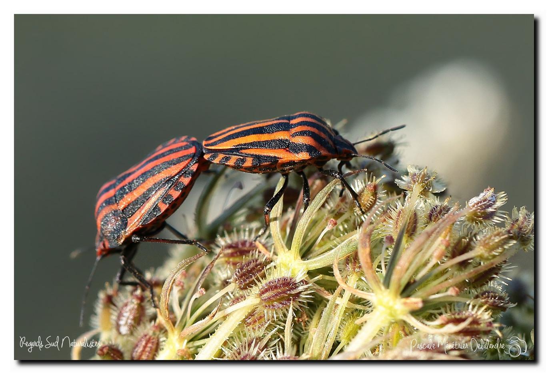 Punaise arlequin (Graphosoma italicum)