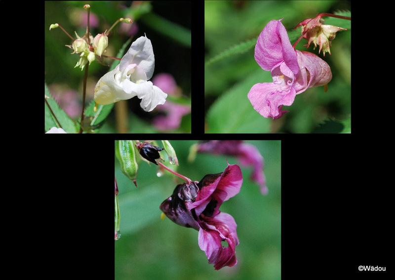 La Balsamine de l'Himalaya, Impatiente glanduleuse (Impatiens glandulifera) Balsaminaceae