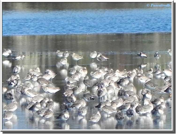 Parc ornithologique du Teich - barges à queue noire
