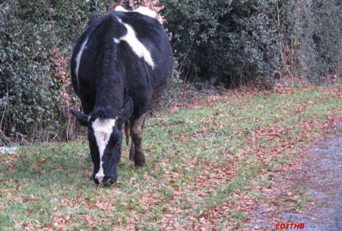 VACHES (3)