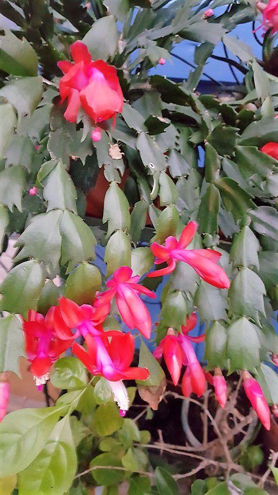Mon cactus de Noël fleurit déjà...