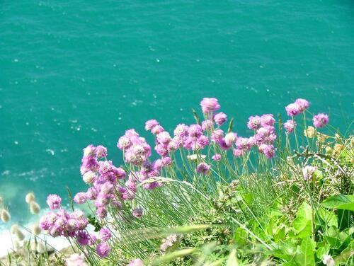 Bord de mer-fleur armérie