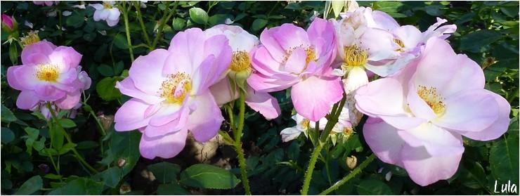 "rosier floribunda ""Escapade"""