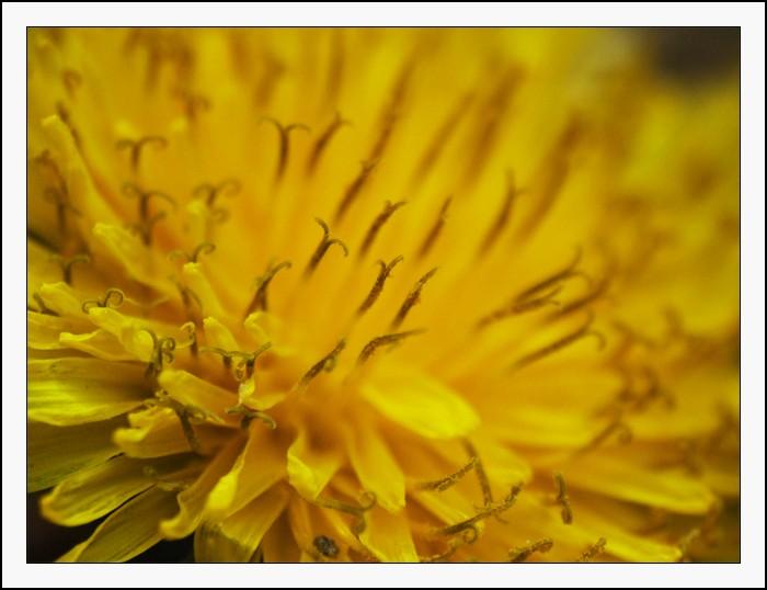 pissenlit, jaune, macro, étamines, fleur
