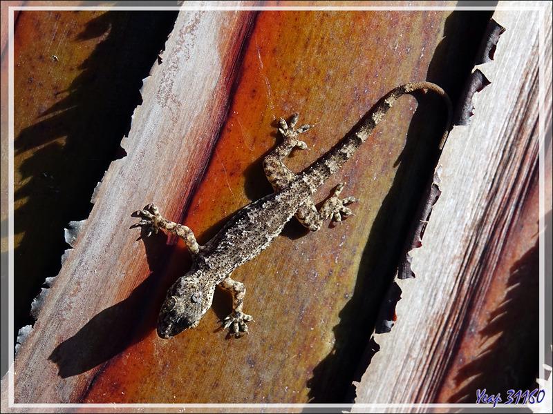 Gecko à tête plate, Flathead Leaf-toed Gecko (Hemidactylus platycephalus) - Nosy Be - Madagascar
