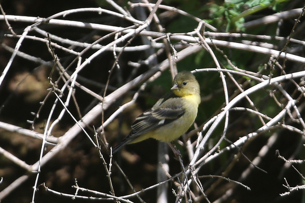 Catalina Island - Lesser Goldfinch