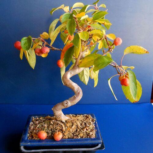 Le pommier en bonsai