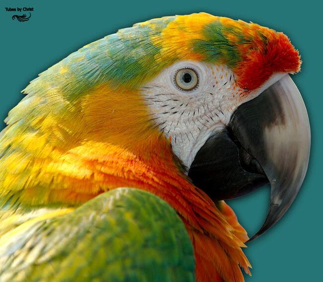 ARA Multicolor.