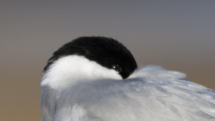 """Après la """"colombe"""" de l'arctique..."""