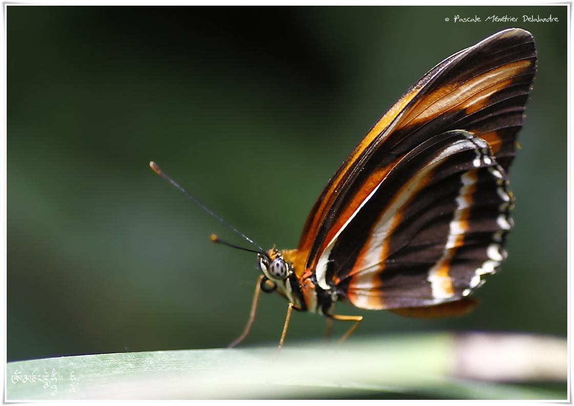 Oeil du Tigre - Heliconius ismenius - Nymphalidae