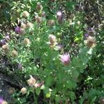 Centaurée pectinée- Centaurea pectinata (Tuchan - Juin 2014)