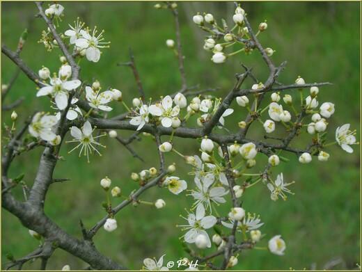 Prunellier(Prunus spinosa)