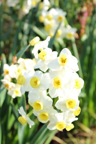 narcisse tazetta multiflora 'Avalanche'
