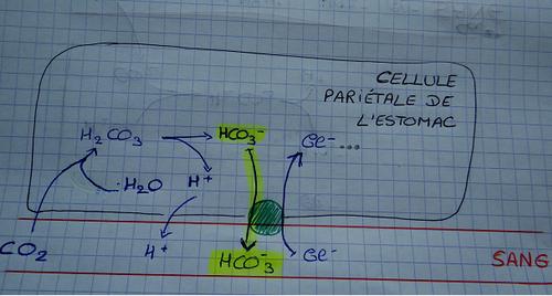 Alcainisation post prandiale cellule estomac