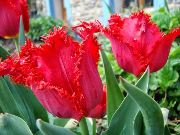 """Beauté de la nature """" Les tulipes"""