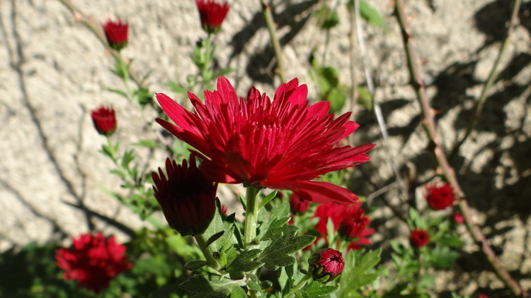 Les Chrysanthèmes dans nos Jardins