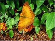 Papillons Tropicaux Vindula dejone Nymphalidae