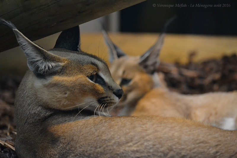 La Ménagerie, le Zoo du Jardin des Plantes : Sanaa et sa fille Ida, femelles Caracal