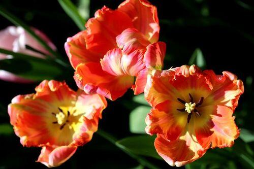 Tulipes 2017 : Apricot Parrot