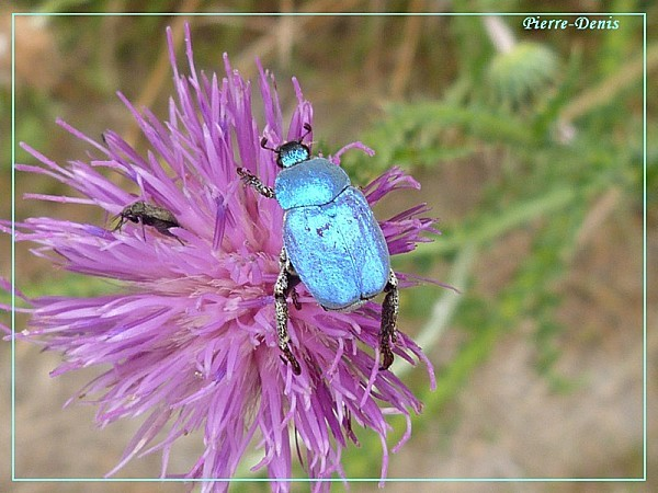 Hoplie bleue