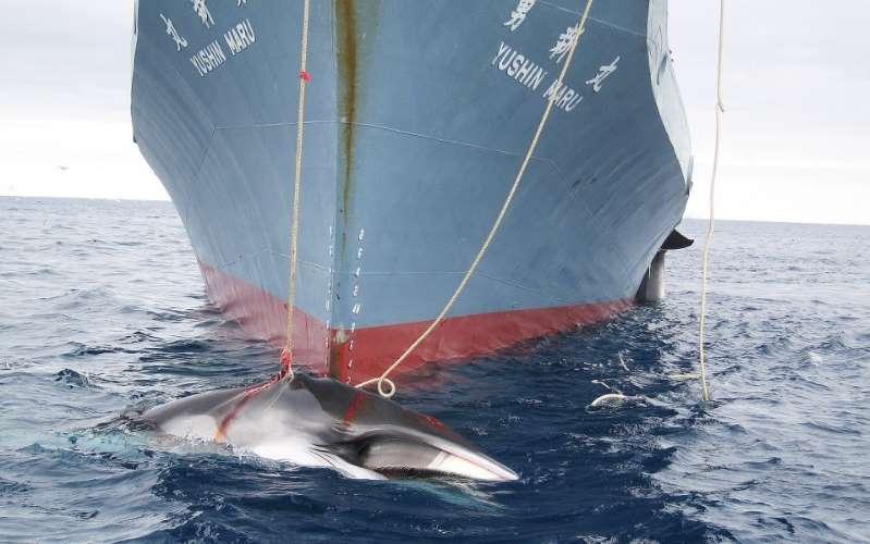 Japon: 122 baleines enceintes tuées au cours d'une expédition dans l'Antarctique