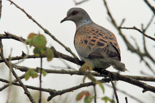 Tourterelle des Bois (European Turtle Dove)