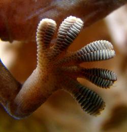 le gecko : quand l'homme imite les animauux