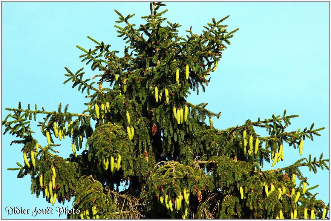 Epicéa / Picea