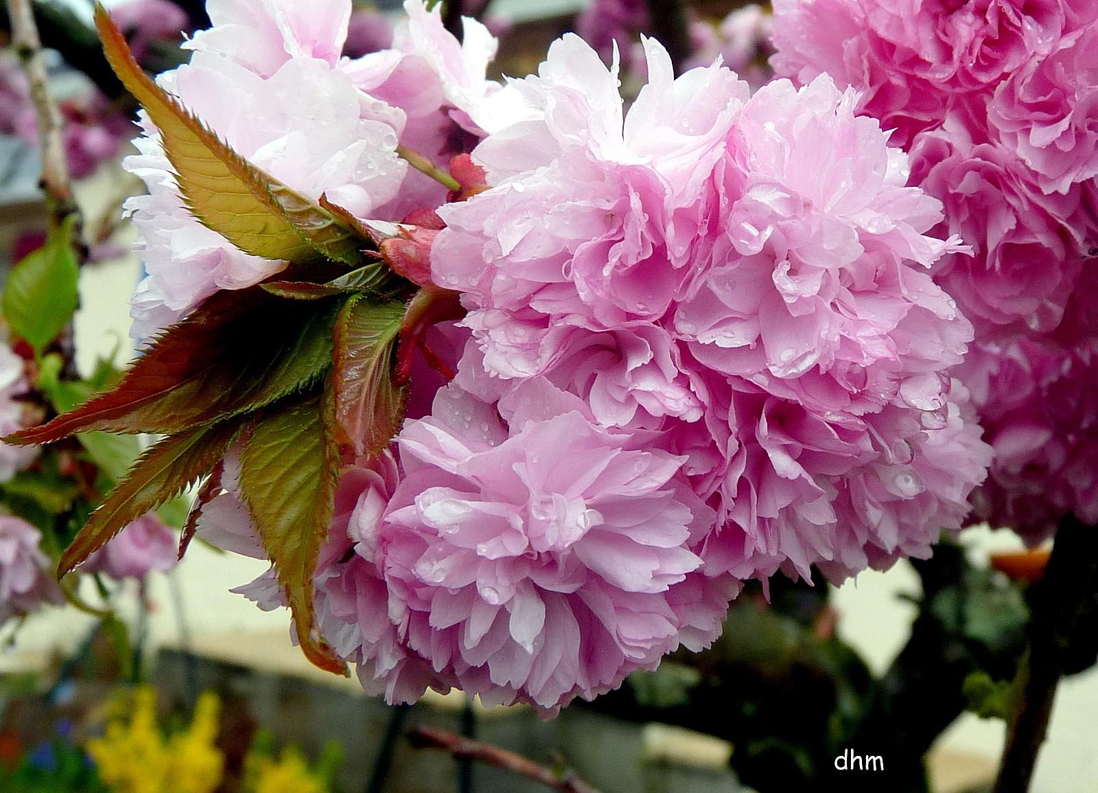 672 mon beau cerisier du japon pleureur arr t sur image de ladymiche. Black Bedroom Furniture Sets. Home Design Ideas