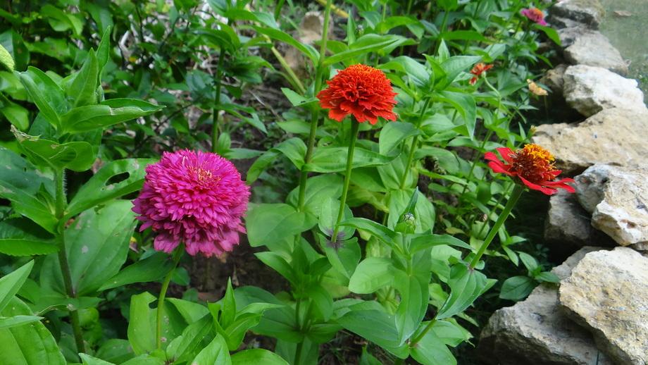 Le Zinnias dans Notre Jardin !!