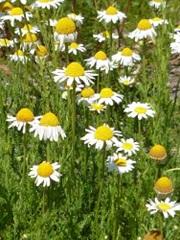 Camomille romaine fleur