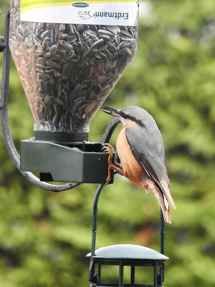 Les oiseaux de mon jardin - janvier 2019 : les sitelles torchepot...