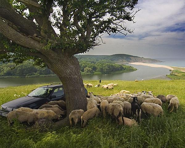 Un troupeau de brebis. La Bulgarie est un des principaux pr
