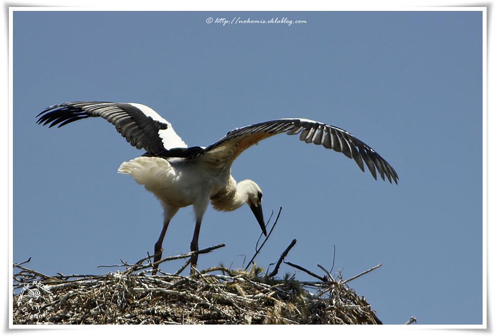 Cigognes blanches - Ciconia ciconia - White Stork