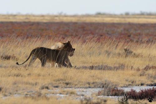Etosha's lions