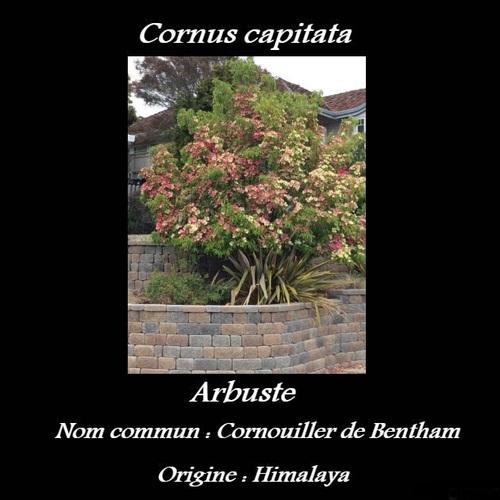 Cornus capitata