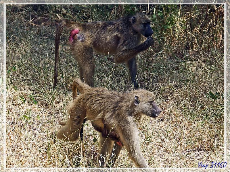Babouin chacma femelle, Chacma baboon (Papio ursinus) et son bébé - Safari terrestre - Parc National de Chobe - Botswana