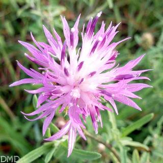 Centaurea aspera - centaurée rude