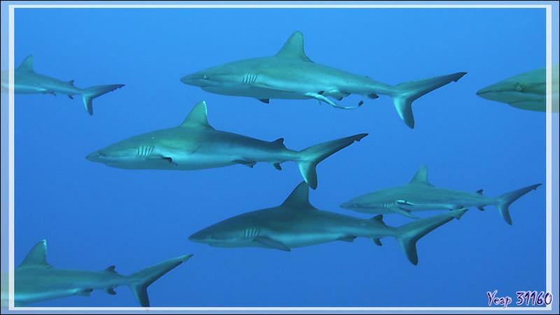 Défilé de Requins gris de récif - Passe Tumakohua - Fakarava sud - Tuamotu - Polynésie française