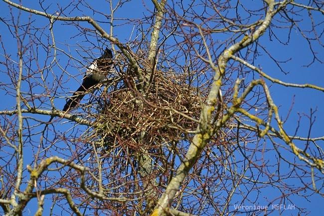 Rambouillet : Le nid de la Pie bavarde