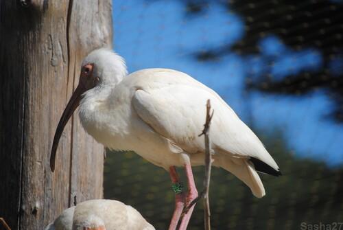 (4) L'ibis blanc.