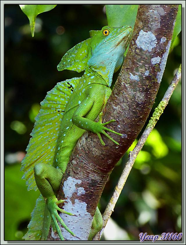 Blog de images-du-pays-des-ours : Images du Pays des Ours (et d'ailleurs ...), Superbe Lézard basilic à plumes (Basiliscus plumifrons) - Tortuguero - Costa Rica