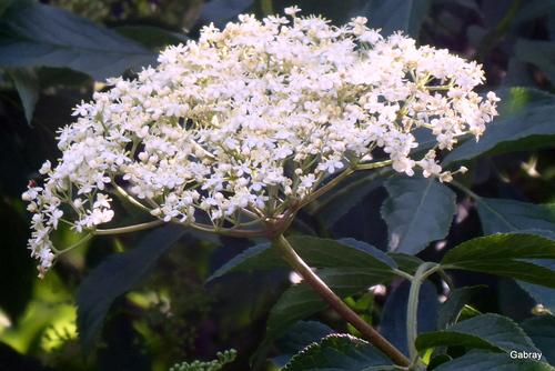 Les fleurs du sureau ...